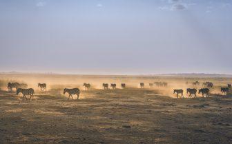 A photo of zebras migration as a metaphor for data migration